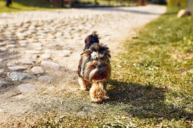 Yorkshire terrier. petit chien mignon sur une promenade dans la rue. fond clair avec bokeh