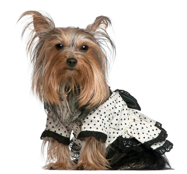 Yorkshire terrier portant une robe à pois noir et blanc, 3 ans, assis
