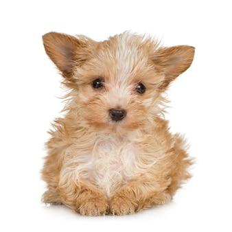 Yorkshire terrier puppy avec 2 mois. portrait de chien isolé