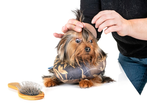 Yorkshire terrier en studio