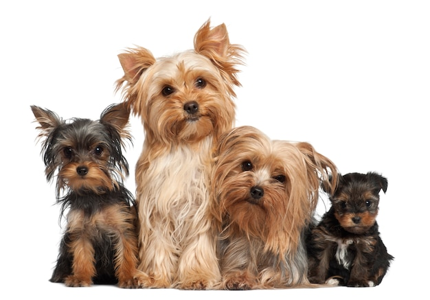 Yorkshire terriers assis contre un fond blanc