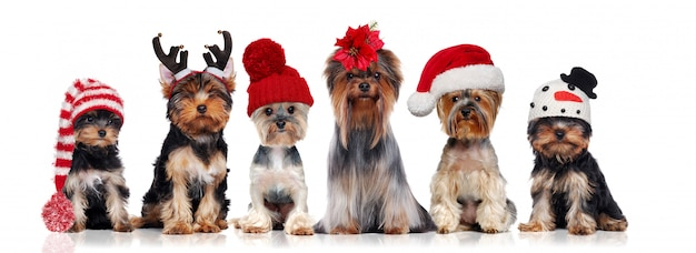 Yorkshire terriers portant différents chapeaux de noël