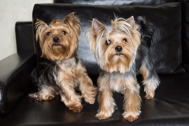 Yorkshire terriers sont assis sur le canapé noir