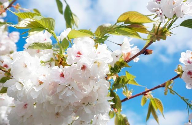 Yoshino cherry qui fleurit au printemps