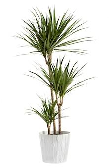 Yucca en pot dans un récipient