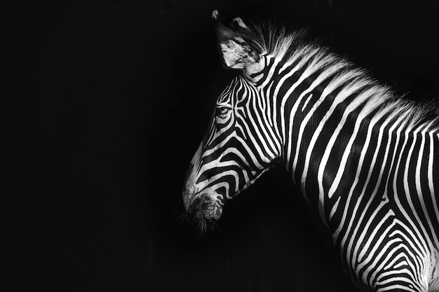 Zebra de grevy sur fond noir, remixé d'après une photographie de mehgan murphy