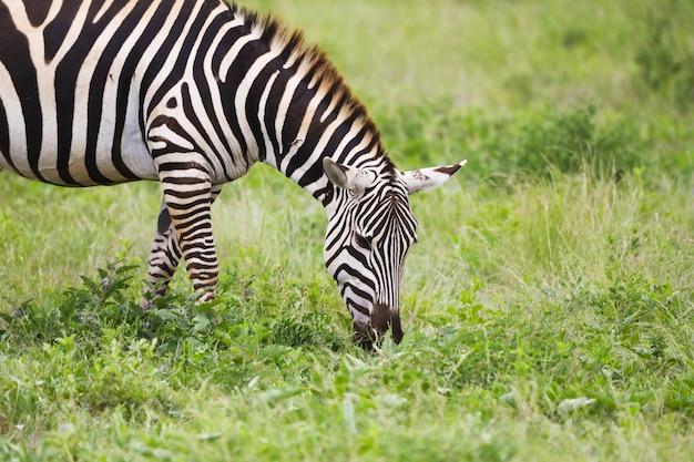 Zebra paissant sur l'herbe dans le parc national de tsavo east, kenya