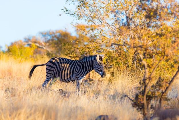 Zèbre broutant dans la brousse au coucher du soleil. safari animalier dans le pittoresque parc national de marakele, en afrique du sud.