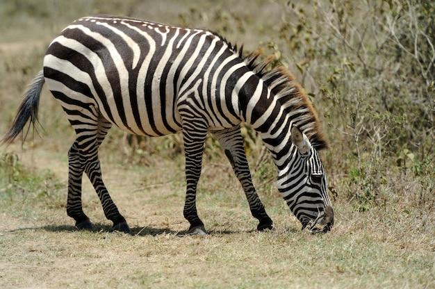 Zèbre dans le parc national. afrique, kenya