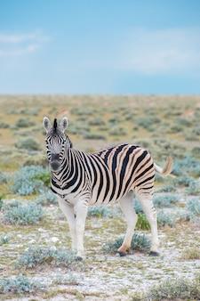 Zèbre dans le parc national d'etosha en namibie