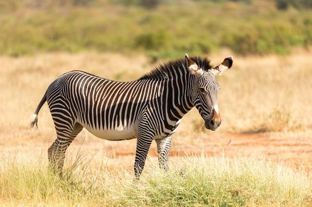 Un zèbre de grévy paît dans la campagne de samburu au kenya