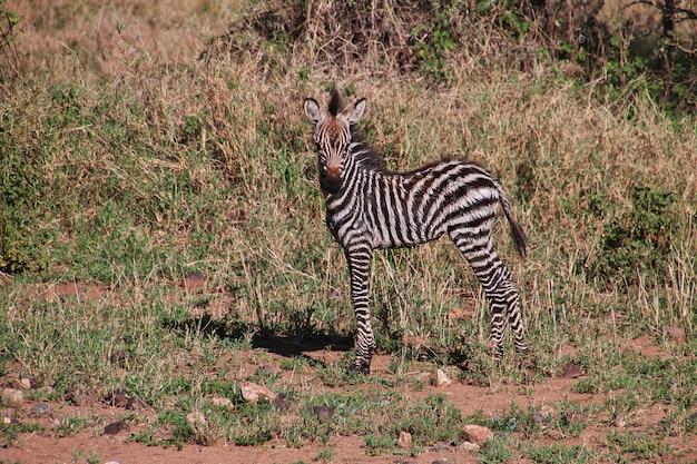 Zèbre lors d'un safari au kenya et en tanzanie, en afrique