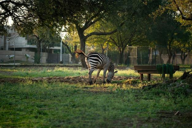 Zèbre mange de l'herbe dans le zoo