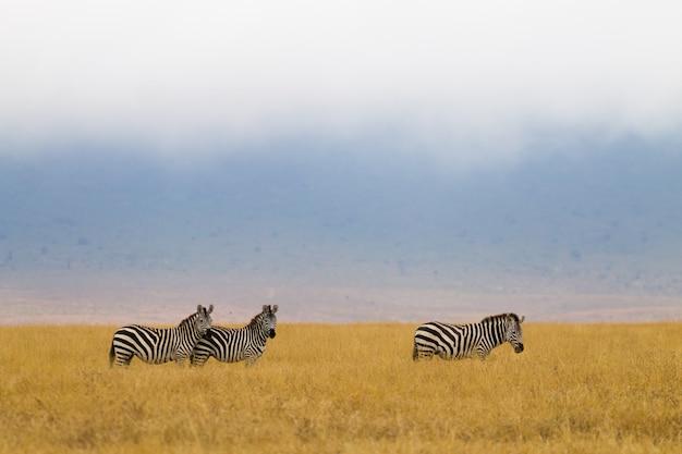 Zèbres d'affilée sur le cratère de la zone de conservation du ngorongoro