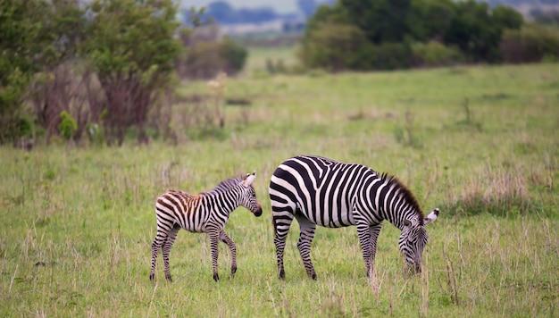 Zèbres au milieu de la savane du kenya