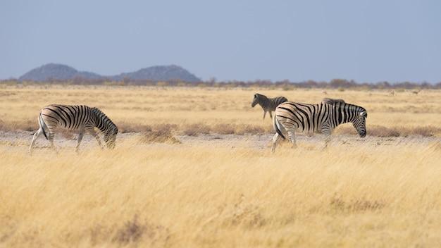 Zèbres broutant dans la brousse, savane africaine