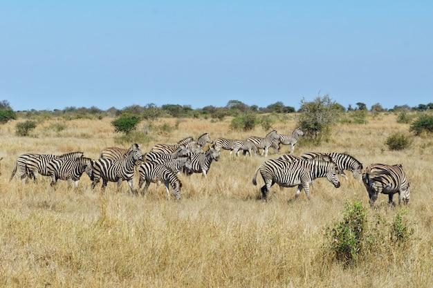 Zèbres dans le parc national d'addo, afrique du sud