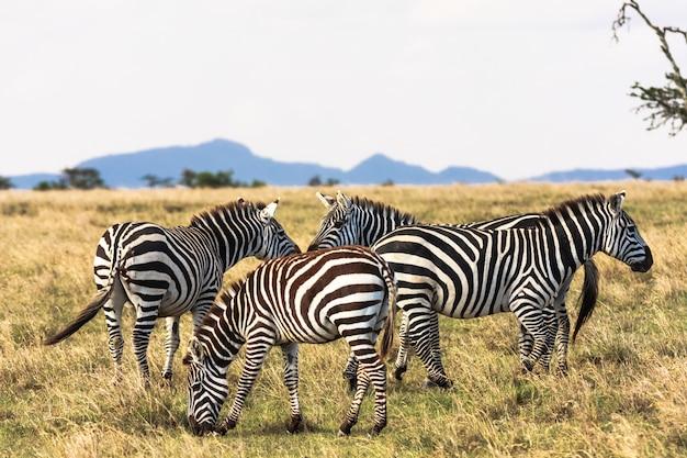 Zèbres dans la savane. zebra communique. masai mara, kenya
