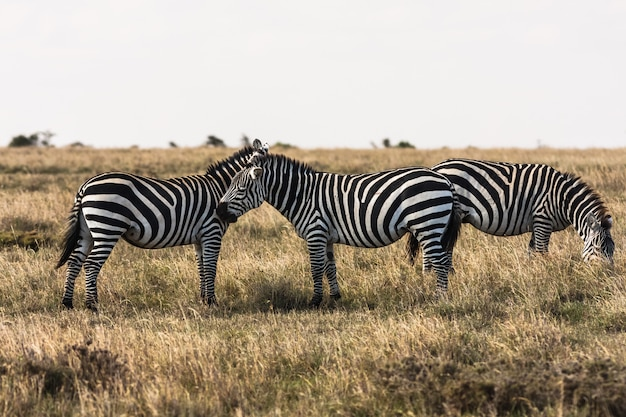 Zèbres dans la savane. les zèbres se parlent. masai mara, kenya