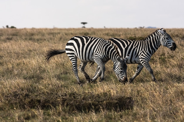 Zèbres dans la savane. zèbres sociables. masai mara, kenya