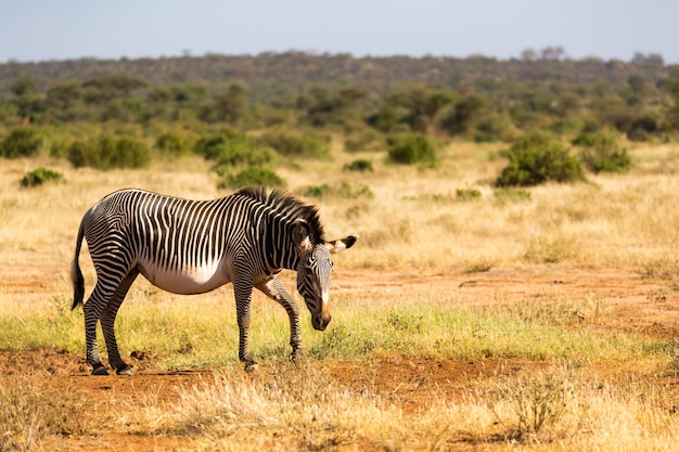 Les zèbres grévistes paissent dans la campagne de samburu au kenya