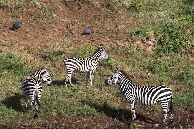 Zèbres sur la rive du petit étang. tanzanie, afrique
