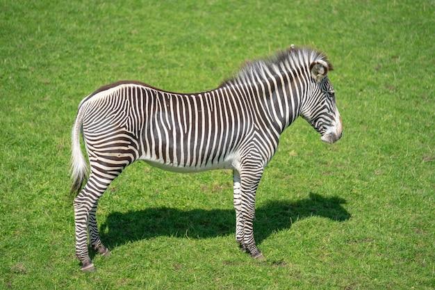 Les zèbres sont plusieurs espèces d'équidés africains, famille de chevaux, unis par leurs manteaux rayés noir et blanc distinctifs