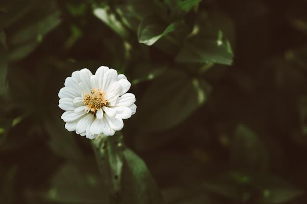 Zinnia blanc fleurit dans le jardin avec la lumière du soleil le matin. belle fleur de zinnia en couleur de film ton