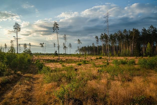 Zone de déforestation de la végétation dans la forêt de pins.