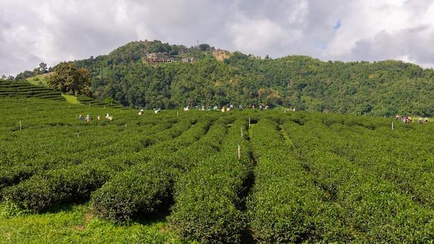 Zone de terres agricoles de thé vert agricole sur la montagne