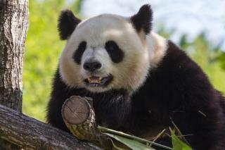 Zoo panda géant