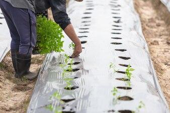 Agriculteur plantant avec paillage à mauvaise herbe de l'agriculture biologique.