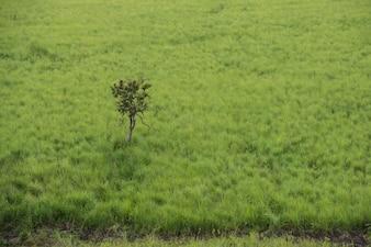 Arbre solitaire dans le pré vert