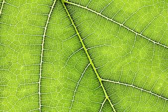 Bouchent la texture de la feuille verte comme abstrait de la nature verte
