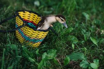 Caneton sortant du panier jaune sur l'herbe verte