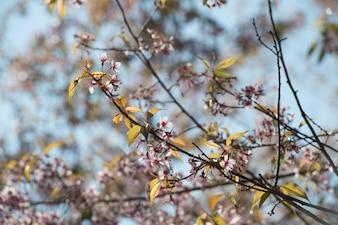 Cerise de l'Himalaya (Prunus cerasoides) en fleurs à Doi Angkhang, en Thaïlande.