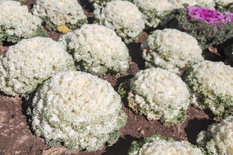 Chou blanc ornemental en pot dans le projet royal de Doi Angkhang