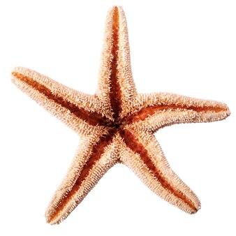Étoile de mer étoile de mer isolée sur fond blanc