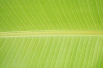 Feuilles de bananier, feuille verte