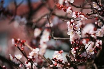 Fleur de cerisier aux amandes roses ou sakura