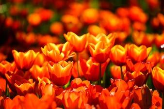 Fleurs de tulipe orange dans le jardin avec l'arrière-plan flou,