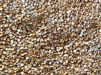 Graines de café fraîches avant le rôti comme texture de fond