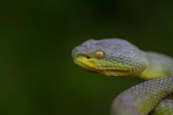 Gros plan, serpent vert, vipère