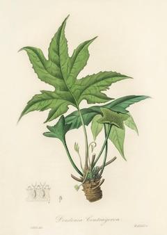Illustration de Snakewort (Dorsternia contrajerva) de Medical Botany (1836)