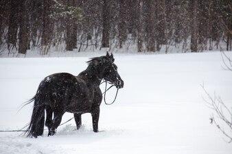 Le cheval marchant dans les bois d'hiver