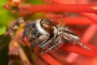 Macro d'araignée (Jumping Spiders Santa Claus) insecte se bouchent sur le congé dans la nature