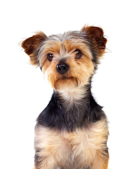 Mignon petit chien avec des cheveux coupés