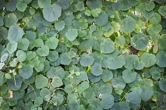 Plante de lierre vert sur le mur pour fond naturel