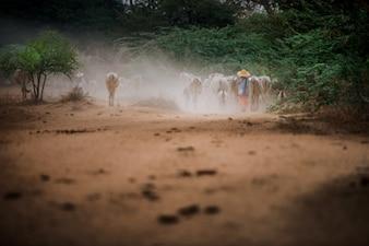 Soirée pâturage des troupeaux à Bagan