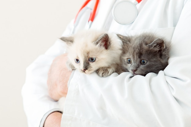 2 due gattini grigi lanuginosi nelle mani del medico veterinario in camice bianco con lo stetoscopio. gatti bianchi e grigi del bambino in clinica veterinaria. medicina veterinaria per animali domestici e gatti. ritratto di gattini.